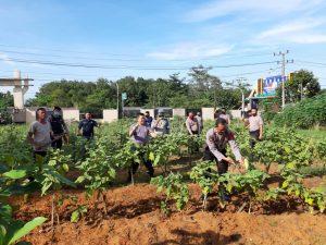Polsek Simpang Pematang Sulap Lahan Kosong Jadi Kebun Terong Untuk Warga